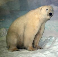 Denver Museum Polar Bear 151 by Falln-Stock