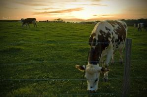 Cows at Sunset by littles0cks