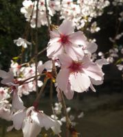 Cherry blossoms by masops