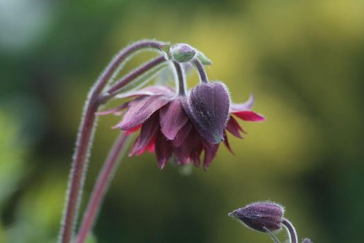 the old aquilegia by dodecatheon