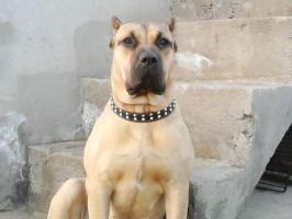 Dogo Canario portrait by natiawarner
