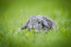 Baby chinchilla by Pebels
