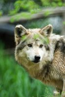 Mexican Wolf 11 by Art-Photo