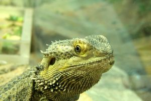 Central bearded dragon by asaph70