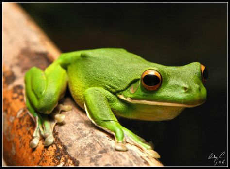 White Lipped Green Frog by 2Stupid2Duck
