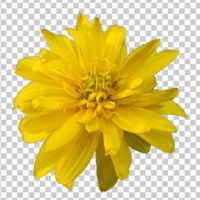 01 heliopsis+transparent by ForestGirlStock