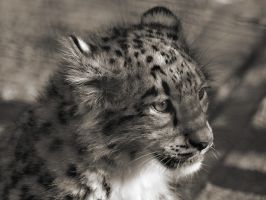 Snow Leopard - 1600x1200 by theshadow330