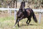 HH Black Andalusian Trot by Chunga-Stock