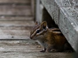 Chipmunk by Kekilen