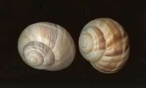 Stock- Escargo Snail Shell by idolhands