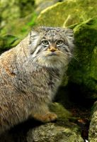 Pallas Cat by Shadow-and-Flame-86