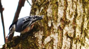 White-breasted Nuthatch 6 by tastybedsore