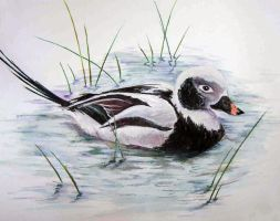 Long-tailed Duck by Wavikz