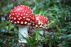 Fly Agaric by johannmetzger