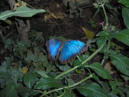 Blue Butterfly by Geak-of-Nature