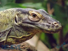 Komodo Dragon - lV by BelievePhotography