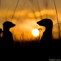 Silhouetted Meerkats by willbl