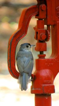 Tufted Titmouse by daughterdragon