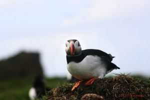 Puffin on Edge by Yoonett