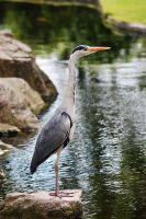 Holland Park - Heron by Kitty27Wolfe