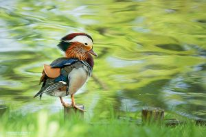 Mandarin Duck by DominikaAniola