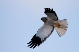 Hen Harrier - Circus cyaneus by OkiGraphics