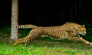 cheetah351 by redbeard31