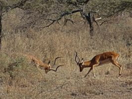 Impala Sparring II by Track-Maidens