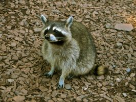 racoon 06 by Pagan-Stock