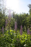 Lupines by Isabella3991