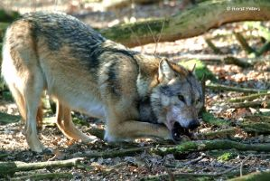 Europaeischer Grauwolf  / European Graywolf 22 by bluesgrass