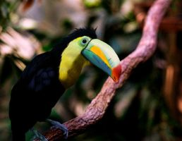 Tucan by Broonx