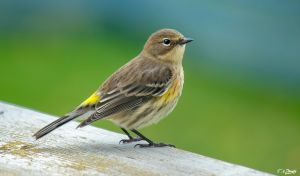 Little yellow rumped warbler by Nini1965
