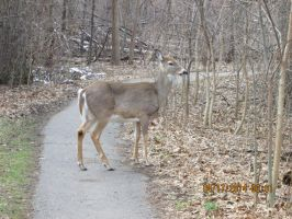 Deer  i saw at ojibway pic 10 by catsvsfox