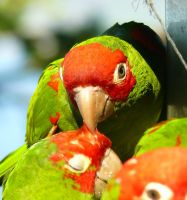 Wild Parrots of Telegraph Hill by BrandonCWatson