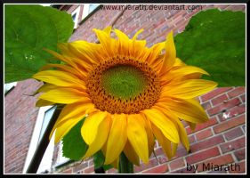 Sunflower makes you smile ... by Miarath