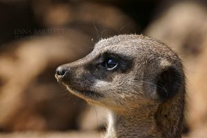 Meerkat Profile by ERB20