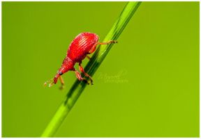 Red 'Rumex' Weevil by SianMurrell