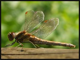 Dragon Fly 2 by DeadlyDonna