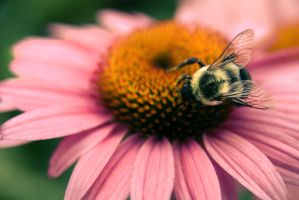 Echinacea by Findae