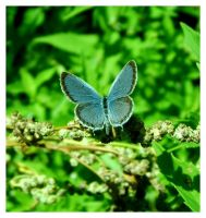 Eastern-tailed Blue 5 by DeviantLadyAshley