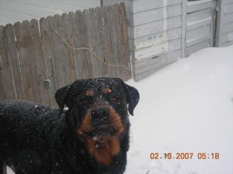 R.I.P. Bear playin in the snow by I-Love-My-Chihuahua
