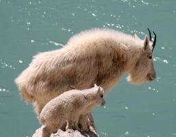 Mountain Goats. by Lilliendahl