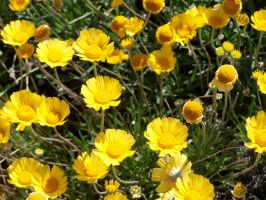 Little Yellow Flowers 2 by theNanna