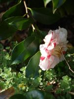Variegated Camellia Stock 02 by botanystock
