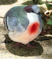 Bleeding Heart Pigeon by LESHA
