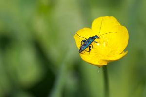 Oedemera nobilis by chasnam