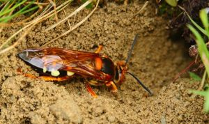 Giant Cicada Killer Wasp 1 by natureguy