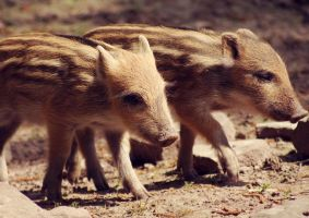 young wild boars by cloe-patra