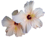 Hibiscus .PNG cutout by watergal28-stock